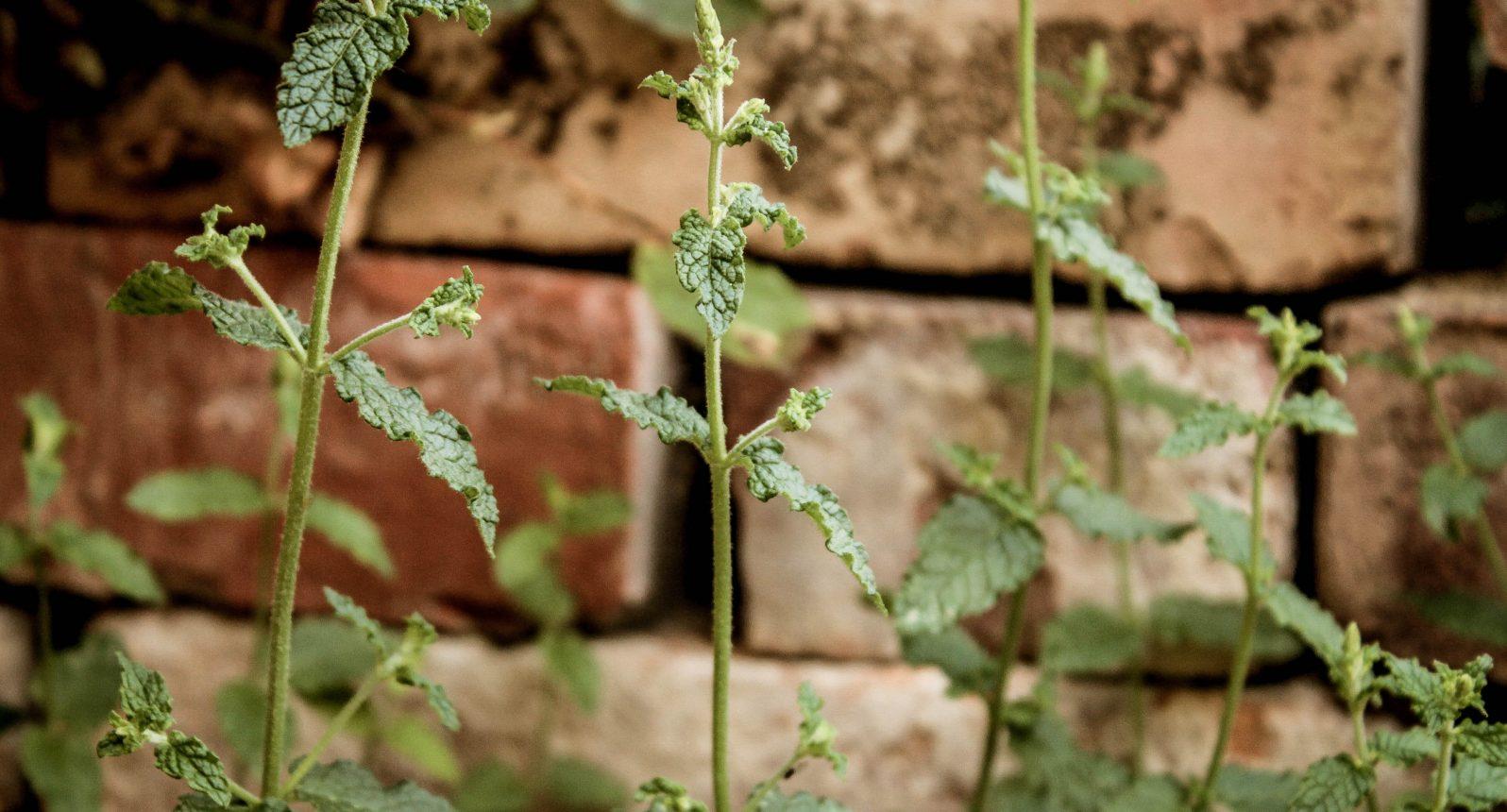Pfefferminz im Garten